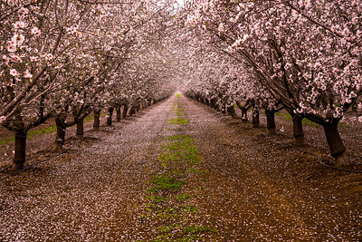 Richards___Fruit Trees in Blossom