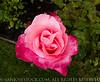 RoseGarden12