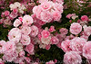 RoseGarden17
