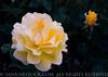 RoseGarden3