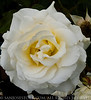 RoseGarden6