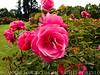 RoseGarden28