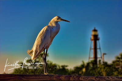 Egret on the Sanibel Fishing Pier....in the shadow of the Lighthouse