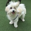 Sarah, the Malagasy Coton de Tulear at day care making friends