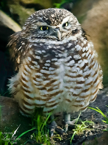 Attitudinal Burrowing Owl