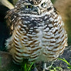 Attitudinal Burrowing Owl