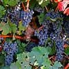 Tokay Vines