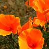 Auburn Poppies