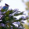 Blue Tweeter