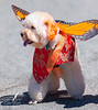 Pacific Grove Butterfly Dog