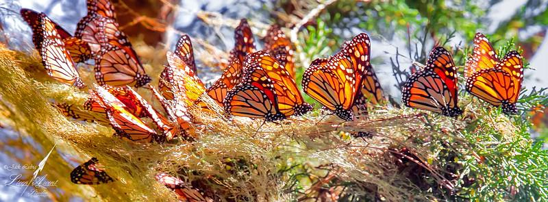 Monarch Branch