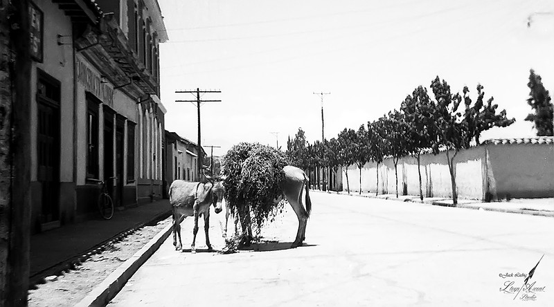 Mules - San Felipe Chile - 1960