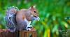 Waldhaus Squirrel
