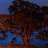 Early Morning Coastal Eucalyptus