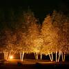 Golden Night Birches