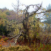 Hwy 1 Moss Tree
