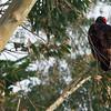 Eucalyptus & Turkey Vulture