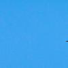 Florida Blue Harons