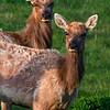 Elk's Attention