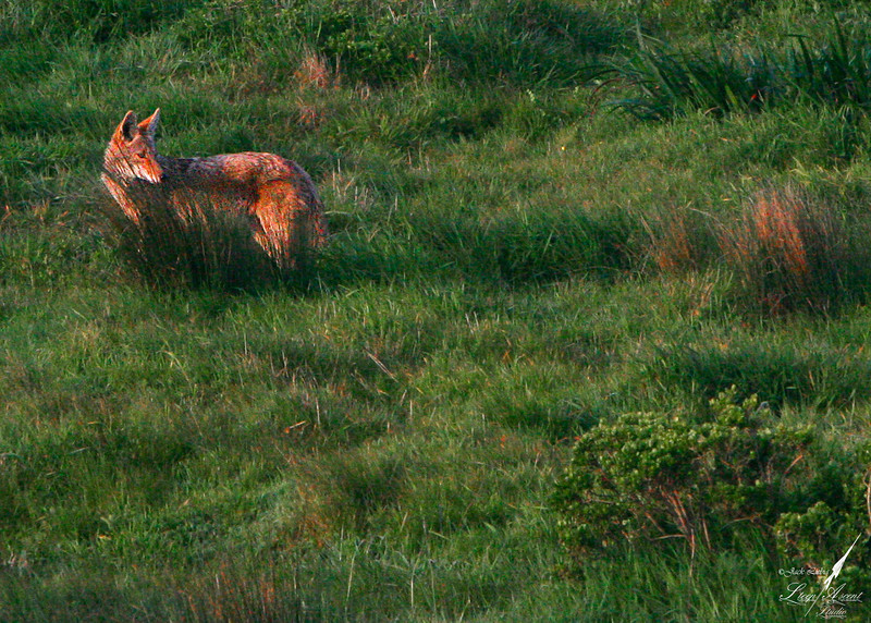 Coyote in the Grass