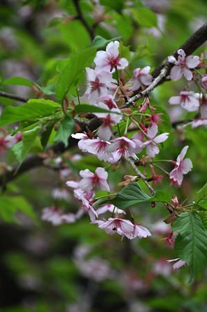 Satori Blossoms - 24 March 2013 (43)