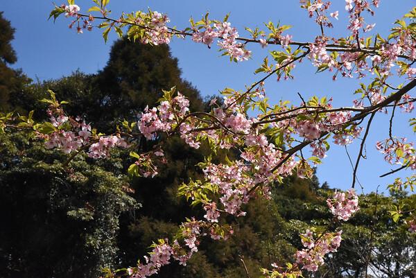 Satori Blossoms - 23 March 2017