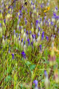 Gentianopsis crinita Greater Fringed Gentian Fermoy Road Bog Fringed Gentian Bog Sax-Zim Bog MN  IMG_0799