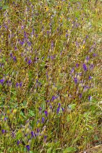 Gentianopsis crinita Greater Fringed Gentian Fermoy Road Bog Fringed Gentian Bog Sax-Zim Bog MN  IMG_0793
