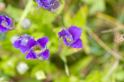 Gentianopsis crinita Greater Fringed Gentian Fermoy Road Bog Fringed Gentian Bog Sax-Zim Bog MN  IMG_0803