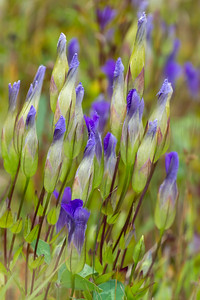 Gentianopsis crinita Greater Fringed Gentian Fermoy Road Bog Fringed Gentian Bog Sax-Zim Bog MN  IMG_0798