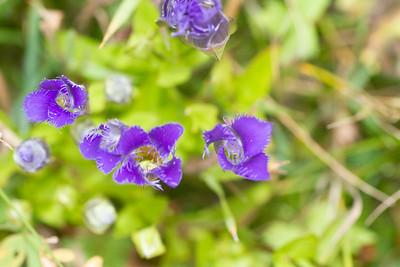Gentianopsis crinita Greater Fringed Gentian Fermoy Road Bog Fringed Gentian Bog Sax-Zim Bog MN  IMG_0801