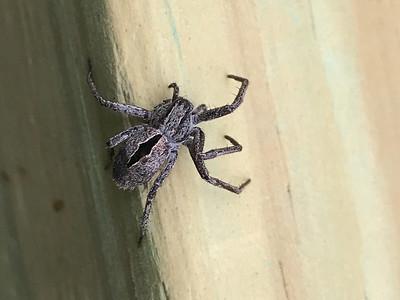 Thanatus formicinus Diamond Spider on Warren Woessner Bog Boardwalk at Warren Nelson Memorial Bog Sax-Zim Bog MN  IMG_4769