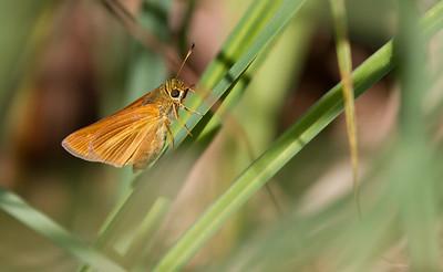 skipper Dion Skipper butterfly Gray Jay Way Sax-Zim Bog MN IMG_2077
