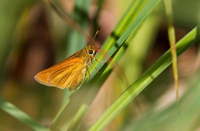 skipper Dion Skipper butterfly Gray Jay Way Sax-Zim Bog MN IMG_2074