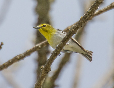 Yellow-throated Vireo Boy Scout Road Whiteface River Warbler Wednesday May 23 2018 Sax-Zim Bog MNIMG_0334