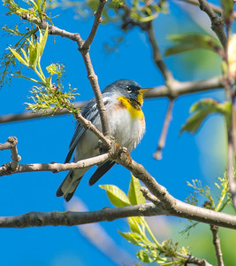 Northern Parula CR29 at Whiteface River bridge Sax-Zim Bog MN DSC08504