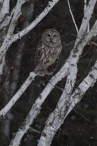 Barred Owl Peary Road near Yellow-bellied Bog Sax-Zim Bog MN IMG_7591