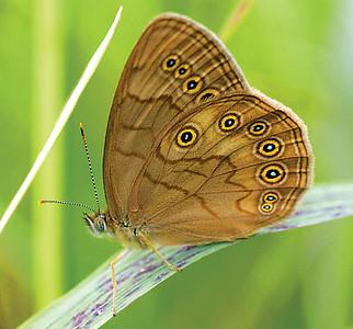 Eyed Brown Satyrodes eurydice Yellow-bellied Bog Sax-Zim Bog MN IMG_9013 copy