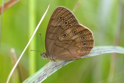 brown Eyed Brown Satyrodes eurydice Yellow-bellied Bog Sax-Zim Bog MN IMG_9013 CR2