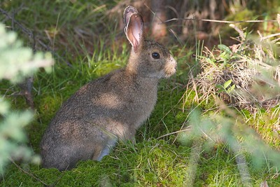 Snowshoe Hare Yellow-bellied Bog Peary Rd Sax-Zim Bog MN IMG_4791