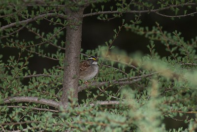 White-throated Sparrow Yellow-bellied Bog Peary Road Sax-Zim Bog MN IMG_3057