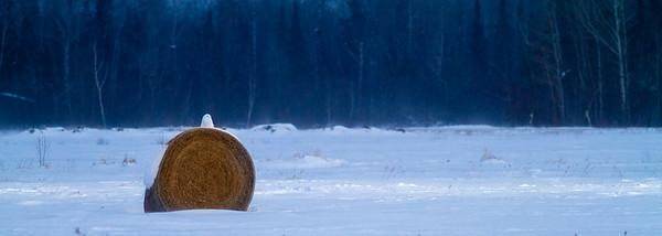 Snowy Owl mature male on haybale CR229-29 Dart Road Sax-Zim Bog MN  IMG_0051