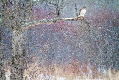 Red-tailed Hawk CR7 Sax-Zim Bog MN IMG_0915