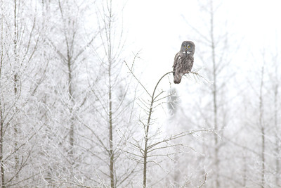 Great Gray Owl hoar frost Admiral Road Sax-Zim Bog MN IMG_1807
