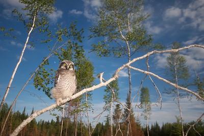 Northern Hawk Owl baby juvenile Owl Ave Sax-Zim Bog MN IMG_1083