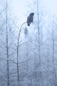 Great Gray Owl hoar frost Admiral Road Sax-Zim Bog MN IMG_1794