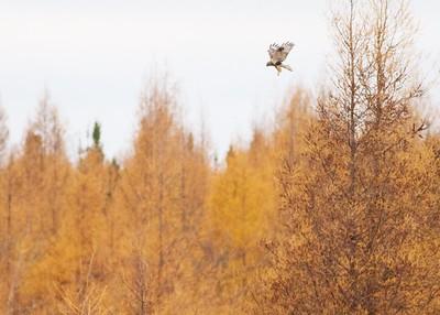 Rough-legged hawk along CR29 Sax-Zim Bog MN IMG_9069