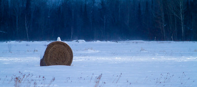 Snowy Owl mature male on haybale CR229-29 Dart Road Sax-Zim Bog MN  IMG_0053