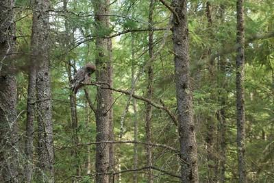Great Gray Owl McDavitt Rd Sax-Zim Bog MN IMG_0058153