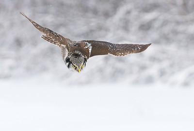 Northern Hawk Owls breed regularly in the Lower 48 only in Minnesota and Montana [January; McDavitt Road, Sax-Zim Bog, St. Louis County, Minnesota]